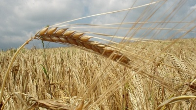 Russia's grain harvest at 100-year high